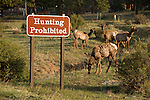 "American elk, Wapiti, with ""Hunting Prohibited"" sign, Rocky Mountain National Park, Estes Park, Colorado, USA, nature, wildlife, elk,"