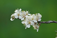 Mexican Plum (Prunus mexicana), buds opening, series, Hill Country, Central Texas, USA