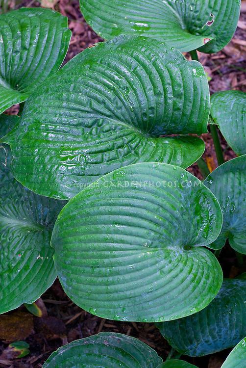 Hosta Blue Vision, shade garden foliage plant