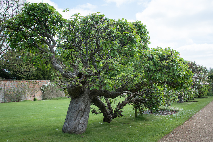 Ancient espalier apple tree, Rousham House and Garden