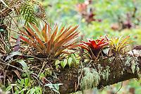 Bromeliads (Bromelia sp.) in tree, Los Quetzales National Park, San José Province, Costa Rica, Central America