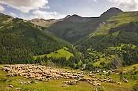 Flock of sheep on the way to Alpine summer pastures grazes above the Roya Valley with the Mont Mounier massif in the background. Transhumance.  Parc National du Mercantour. Alpes-Maritimes. Provence, France.