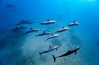 Hawaiian spinner dolphin, Stenella longirostris longirostris, Lanai, Hawaii, USA, Pacific Ocean