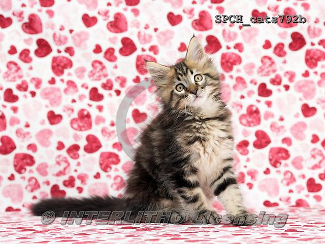 Xavier, ANIMALS, REALISTISCHE TIERE, ANIMALES REALISTICOS, cats, photos+++++,SPCHCATS792B,#a#