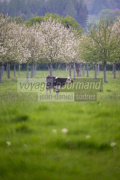 France, Calvados (14), Pays d' Auge, env de Beuvron-en-Auge, Vaches en pâturage et pommiers en fleurs // France, Calvados, Pays d' Auge, near Beuvron en Auge, Grazing cows and flowering apple trees
