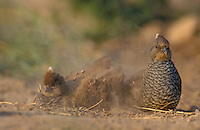Scaled Quail, Callipepla squamata,pair dust bathing, Starr County, Rio Grande Valley, Texas, USA