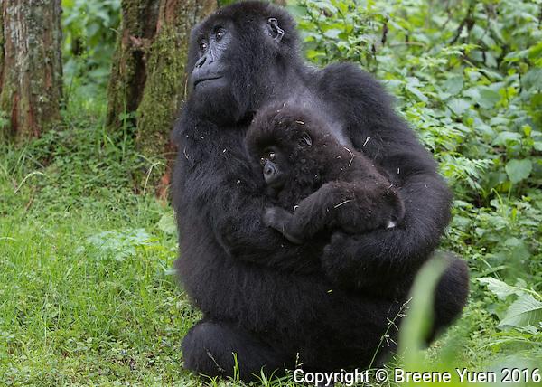 Gorilla Mom and Baby4 Rwanda 2015