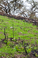 Oaks resprouting from charred saplings; Fire damage and recovery from Nuns fire October 2017, Sonoma Valley Regional Park, California