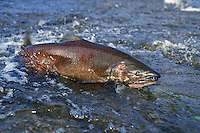 Chinook or king salmon (Oncorhynchus tshawytshca) migrating through shallow water in river towards up river spawning beds.   Pacific Northwest.  Fall.