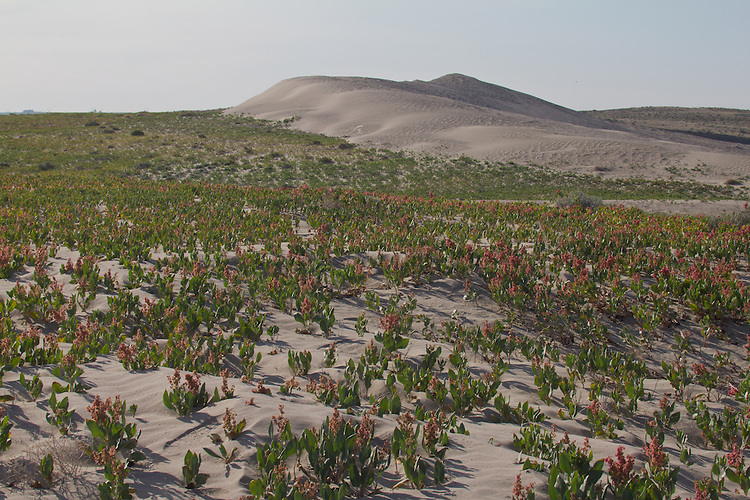 Hanford Reach National Monument, Wahluke Slope, sand dunes, Sand Dock, Rumex hymenosepalus, Columbia Basin, eastern Washington, Washington State, Pacific Northwest, USA, North America,