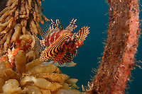 Shortfin Lionfish (Dendrochirus brachypterus) in Lembeh Strait, North Sulawesi, Indonesia