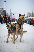 Junior Iditarod champion Noah Pereira's lead dog jumps in anticipation of leaving the start during the ceremonial start of the Iditarod sled dog race in downtown Anchorage Saturday, March 2, 2013. ..Photo (C) Jeff Schultz/IditarodPhotos.com  Do not reproduce without permission