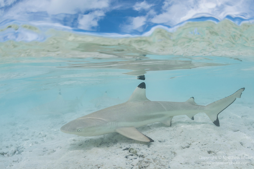Blue Lagoon, Rangiroa Atoll, Tuamotu Archipelago, French Polynesia; an over under view of juvenile blacktip reef sharks swimming in the shallow waters of the blue lagoon, reflecting in the water's surface
