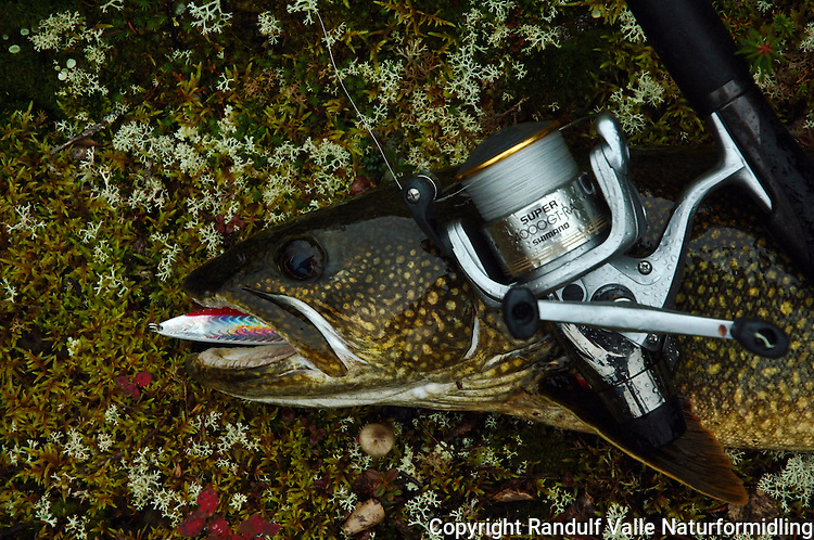 Lake trout tatt på sluk ---- Lake trout, lure and reel