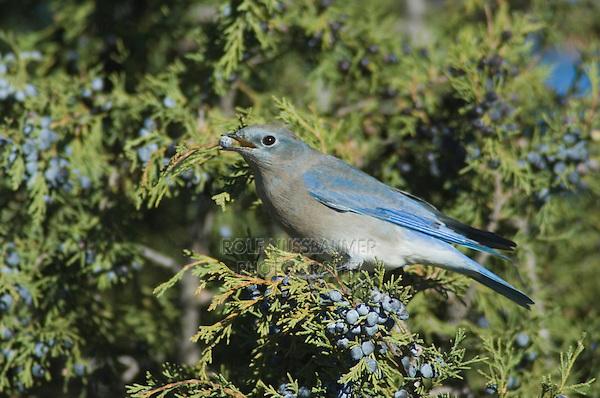 Western Bluebird, Sialia mexicana, female on juniper tree eating berry, Ridgway, Colorado, USA