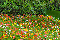 Poppies bloom in a rainbow of color on a small hillside at the Chicago Botanical Garden in Glencoe in Cook County, Illinois
