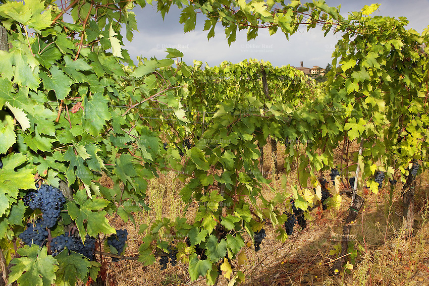 Italy. Tuscany. Villa A Sesta is part of the village Castelnuovo. Vineyard belonging to the Agricola Tattoni Villa A Sesta. Blue grapes. A vineyard is a plantation of grape-bearing vines, grown mainly for winemaking, but also raisins, table grapes and non-alcoholic grape juice. 18.09.10 © 2010 Didier Ruef