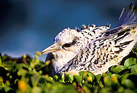 "Juvenile white-tailed tropicbird, Koae kea, also called """"canyon birds"""", Phaeton lepturus."