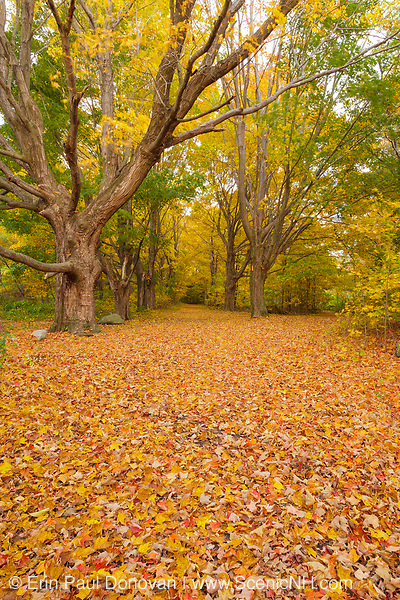 Maple trees along a walking path in Odiorne Point State Park / Fort Dearborn in Rye, New Hampshire USA during the autumn months.