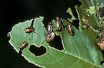 Clay colored leaf beetles