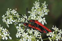 Rüssel-Rotdeckenkäfer, Rotdeckenkäfer, Rotdecken-Käfer, Paarung, Kopulation, Kopula, Lygistopterus sanguineus, Net-winged beetle, copulation, pairing, Rotdeckenkäfer, Lycidae, net-winged beetles