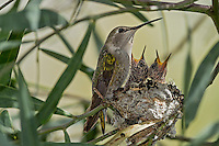 Female Costa's Hummingbird (Calypte costae) with young chicks at nest.  Southern California.  February.