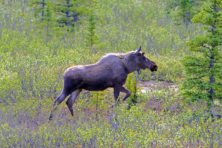 Female moose on the move