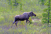 Female moose on the move