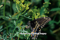 03009-01016 Black Swallowtail (Papilio polyxenes) female laying eggs on Rue (Ruta graveolens) Marion Co. IL