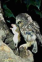 OW02-114z  Saw-whet owl - sitting on branch with mouse prey - Aegolius acadicus