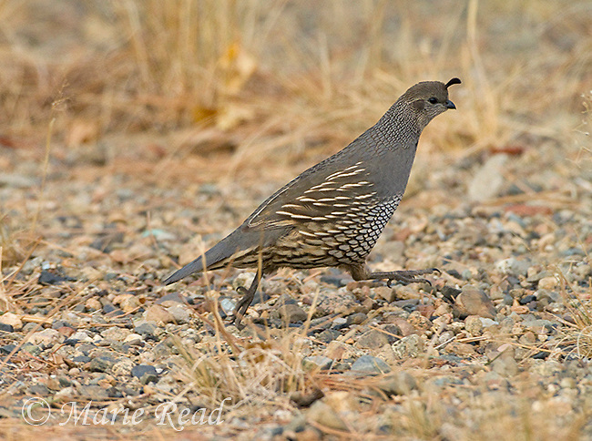 California Quail (Callipepla californica), female running, Mono Lake Basin, California, USA