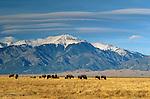Bison grazing, Washington State