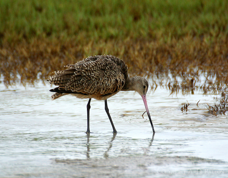 Marbled godwit in non-breeding plumage feeding