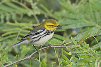 Black-throated Green Warbler, Dendroica virens, female, South Padre Island, Texas, USA, May 2005
