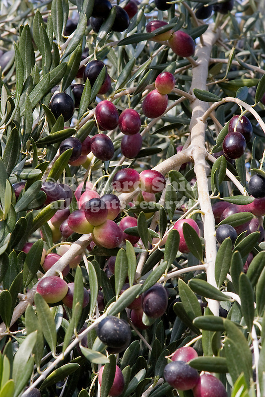 OLIVE, OLEA EUROPAEA, FRUITING BRANCH