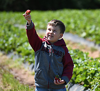 NWA Democrat-Gazette/J.T. WAMPLER Titus Myers, 7, holds a strawberry triumphantly while picking with his brother Luke Myers, 5, and mom Debbie Myers of Lowell Thursday May 4, 2017 at McGarrah Farms strawberry field in Lowell. The field should yield fruit until the end of May. There will the Inaugural Strawberry Festival at the field located at 702 S. Bloomington St. on May 13 and will include free strawberry shortcake, a bounce house for kids, a money haystack and other activities. For more information about the festival see the McGarrah Farms Facebook page.