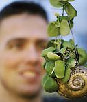 Foto: VidiPhoto<br /> <br /> HONSELERSDIJK – Het is een zelfbedacht en wonderlijk concept onder en achter glas. Wie een Snaily aanschaft, heeft wel wat om cadeau te geven: een dischidia in een met kokos gevulde slakkenschelp uit Thailand, geplaatst in een doorzichtige glazen buis. Zo'n 100.000 stuks vinden er jaarlijks hun weg naar de Europese consument. En over de prijs valt niet te onderhandelen met producent Zeurniet, eigendom van  vader Jos en zoon Stef Scheffers (foto) uit Honselersdijk. De verzorging is voor de consument vrij simpel: eenmaal per week het slakkenhuis onder water dompelen, waardoor de kokosvulling zich voldoende volzuigt. De naam Snaily is bedacht door Jos toen hij de dischidia in Thailand ontdekte en de gelijkenis van de bollige plant met een naaktslak zag. Het concept werd vervolgens geboren op het moment dat daar in de rijstvelden miljoenen door kraanvogels leeggevreten slakkenhuizen achterbleven. Een partner in Thailand produceert het geheel (zonder glas) en in Honselersdijk groeit het dischidiaplantje naar volwassen proporties, waar het voorzien van een glazen omhulsel klantrijp wordt gemaakt.