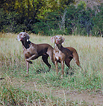 Weimaraner<br />