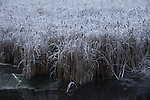 cattail marsh, winter, ice fog, Okanogan County, Eastern Washington, Washington State,