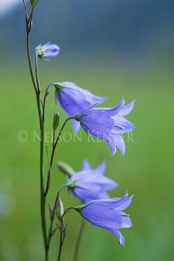 Harebell wildflowers
