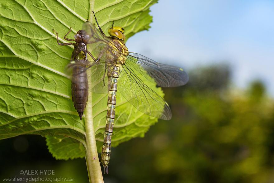 Recently emerged Southern Hawker dragonfly {Aeshna cyanea} next to empty larval exoskeleton. Derbyshire, UK. June.