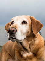 Annie the dog while hunting in Cold Bay, Alaska, Thursday, November 3, 2016. The Izembek National Wildlife Refuge lies on the northwest coastal side of central Aleutians East Borough along the Bering Sea and Cold Bay. Birds hunted include the long tailed duck, the Steller's Eider, the Harlequin, the King Eider and Brant.<br /> <br /> <br /> Photo by Matt Nager