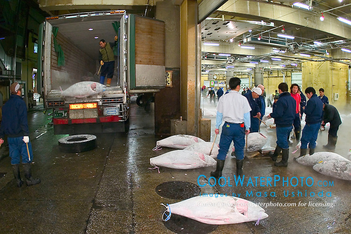 wholesalers unloading frozen tunas, Thunnus sp., from truck for auction, Tsukiji Fish Market or Tokyo Metropolitan Central Whalesale Market, the world's largest fish market  hadling over 2500 tons and over 400 different kind of fresh sea food per day