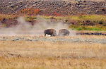 Bison Males Fighting, Lamar Valley, Yellowstone National Park, Wyoming