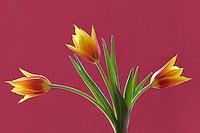 Close up of three tulip flowers.