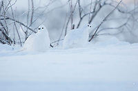 Winter image of Ptarmigan bird in snow in the Eureka area of southcentral, Alaska. <br /> <br /> Photo by Jeff Schultz/SchultzPhoto.com  (C) 2018  ALL RIGHTS RESERVED