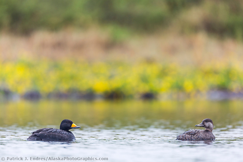 Black scoter mating pari swims in tundra pond in Denali National Park, Alaska.