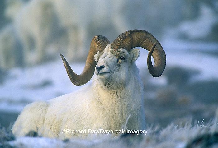 01989-002.09 Dall sheep (Ovis dalli) ram in fog in winter, Yukon   Canada