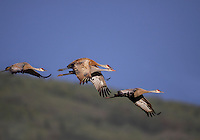 A Sandhill Crane (Grus canadensis) helps its young with the rhythm of flight as they prepare for migration.   Alaska, USA