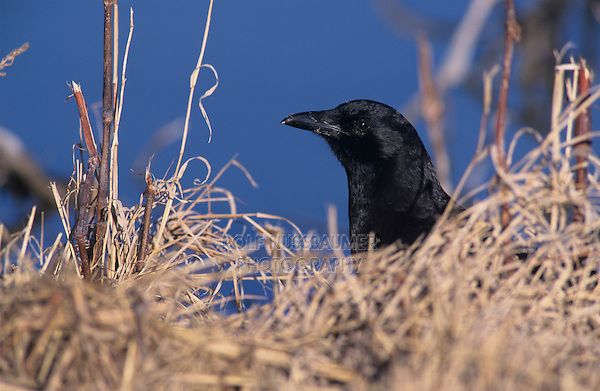 American Crow, Corvus brachyrhynchos, adult, Bosque del Apache National Wildlife Refuge , New Mexico, USA, December 2003